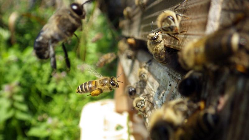 ミツバチの画像 p1_9