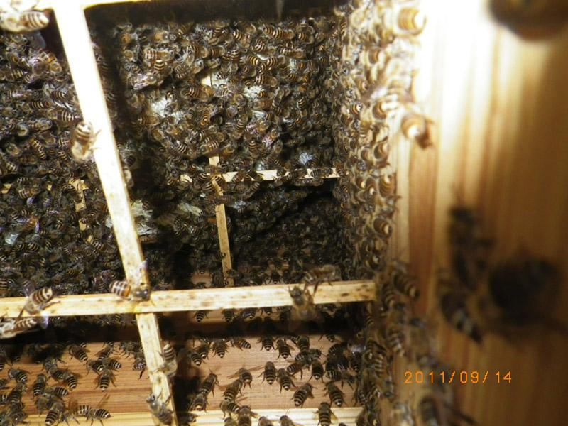 すると が 女王蜂 は 旧 女王蜂 誕生 どうなる 新